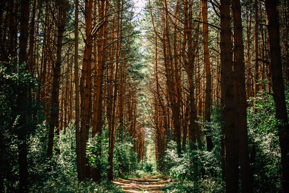 Beautiful pine forest trail in Canada