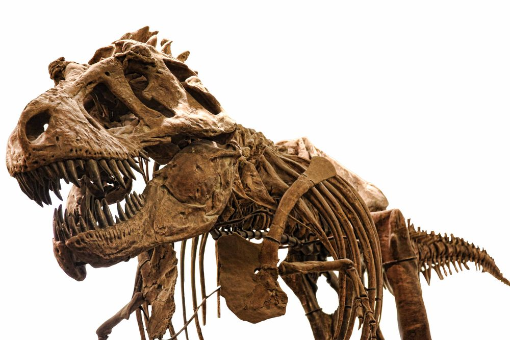 Skeleton of a fully grown T-Rex adult