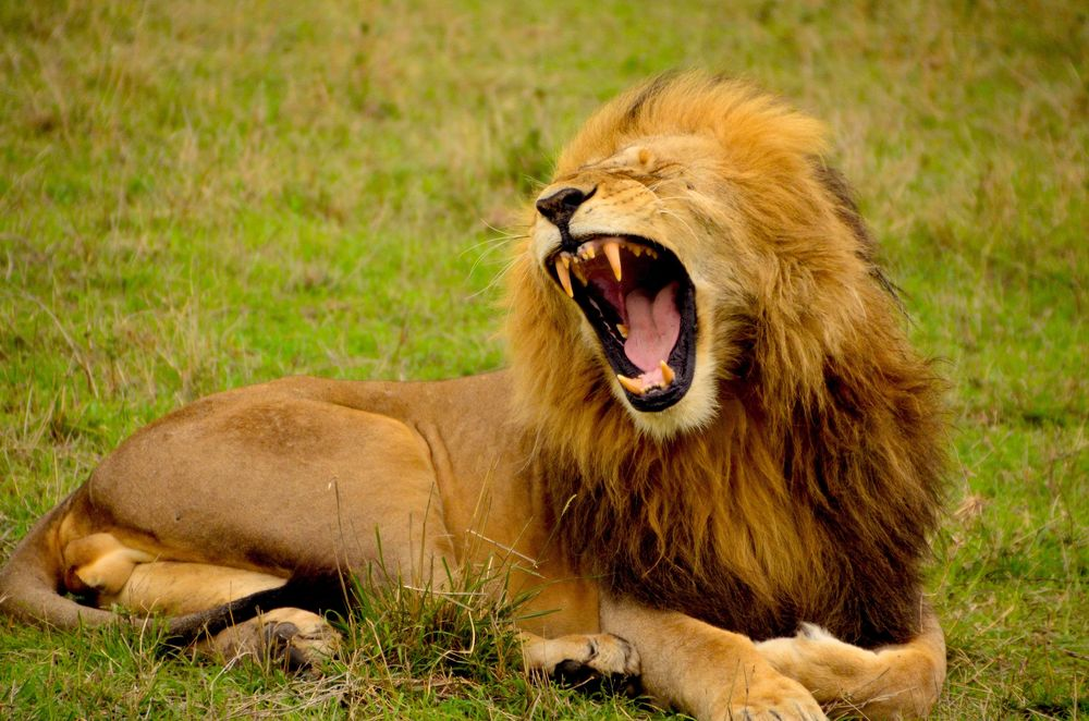 yawning male lion lying on grass