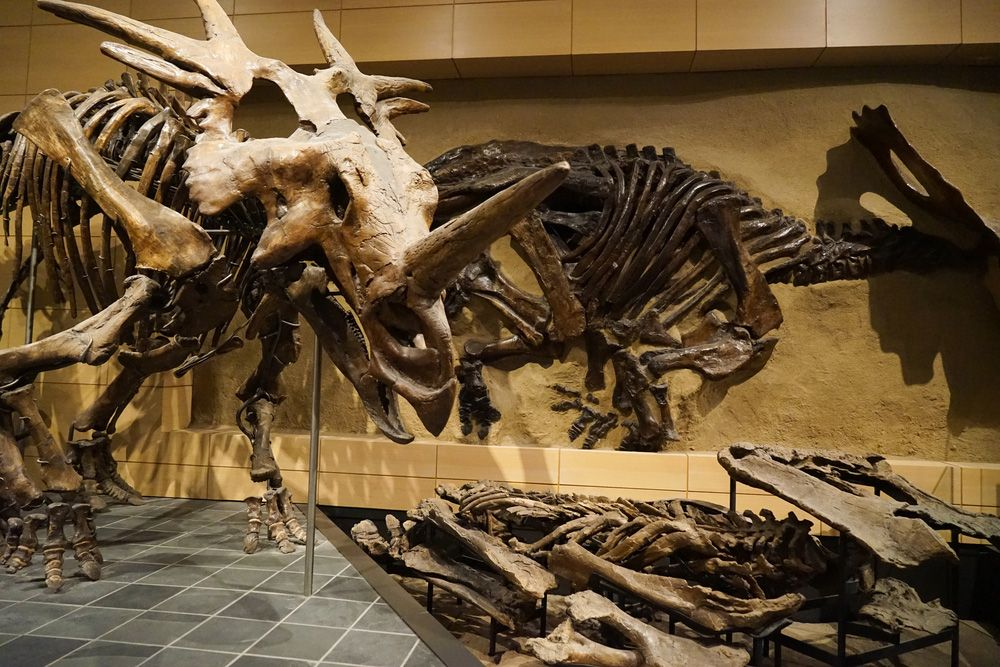 Dinosaur skeletons at Canadian Museum of Nature