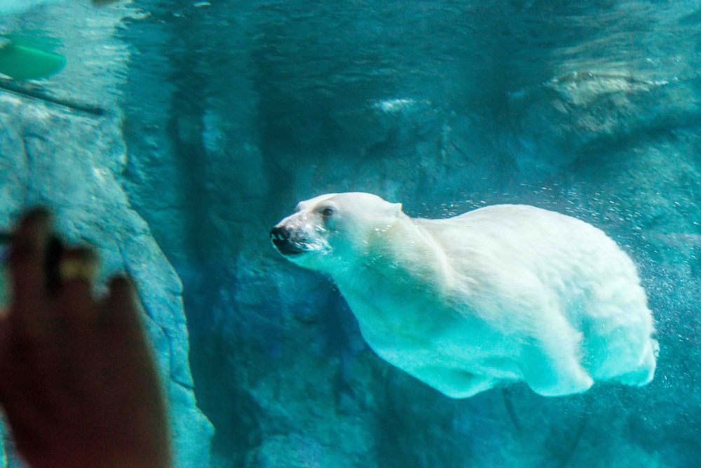 A polar bear diving under the water of its enclosure.