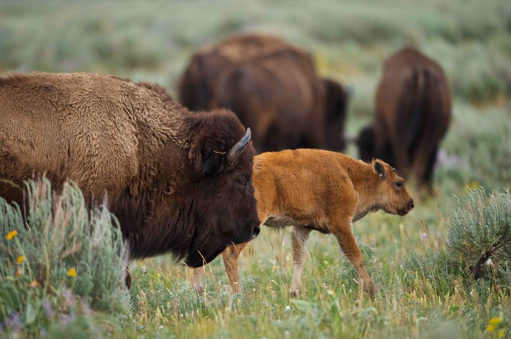 Bison and their young grazing peacefully. Photo by Enrique Aguirre