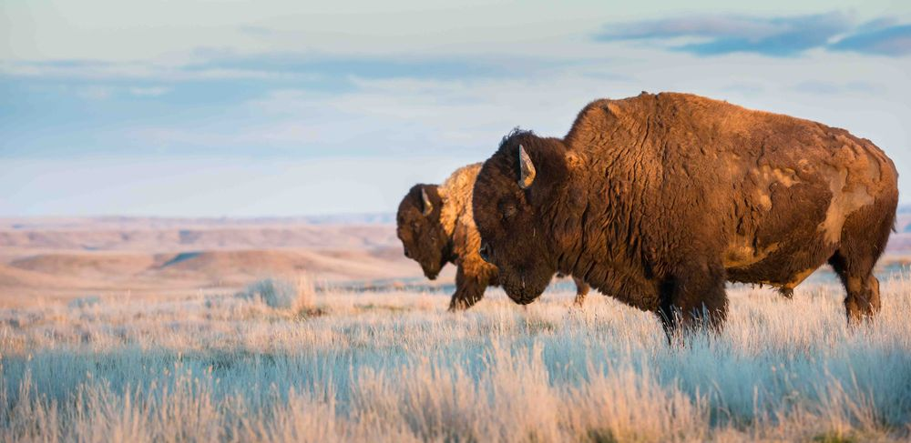 Bison herd slowly moving across the grassland prairie