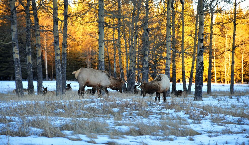 Winter scene of a group of bull elks grazing on meadows, canada.