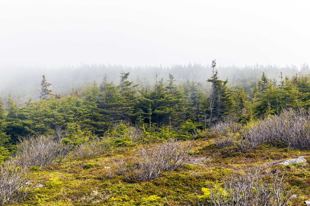 Unusual landscape of shrubbery and trees in Newfoundland Canada on a misty day