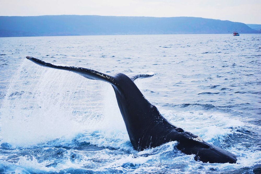 Humpback whale breaching the Atlantic ocean off the coast of Newfoundland and Labrador