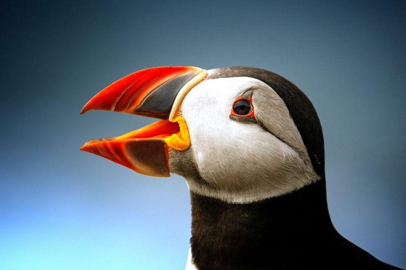 animal atlantic puffin close up Canada