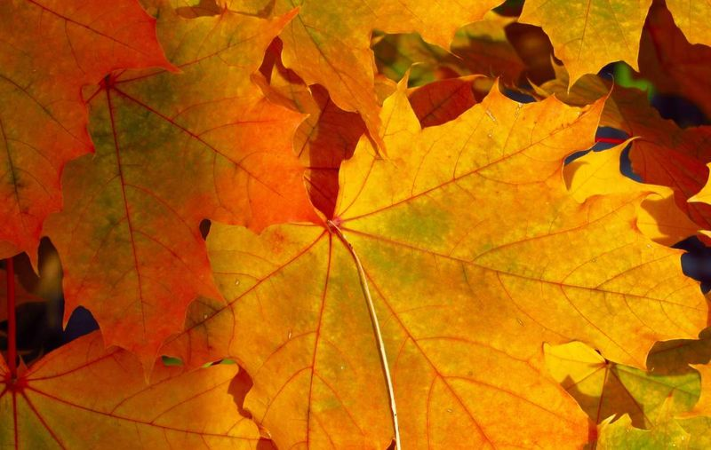 background of maple leaves in autumn