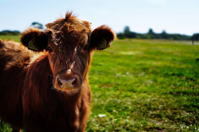 brown cow on farm Agri-food Immigration Pilot Canada