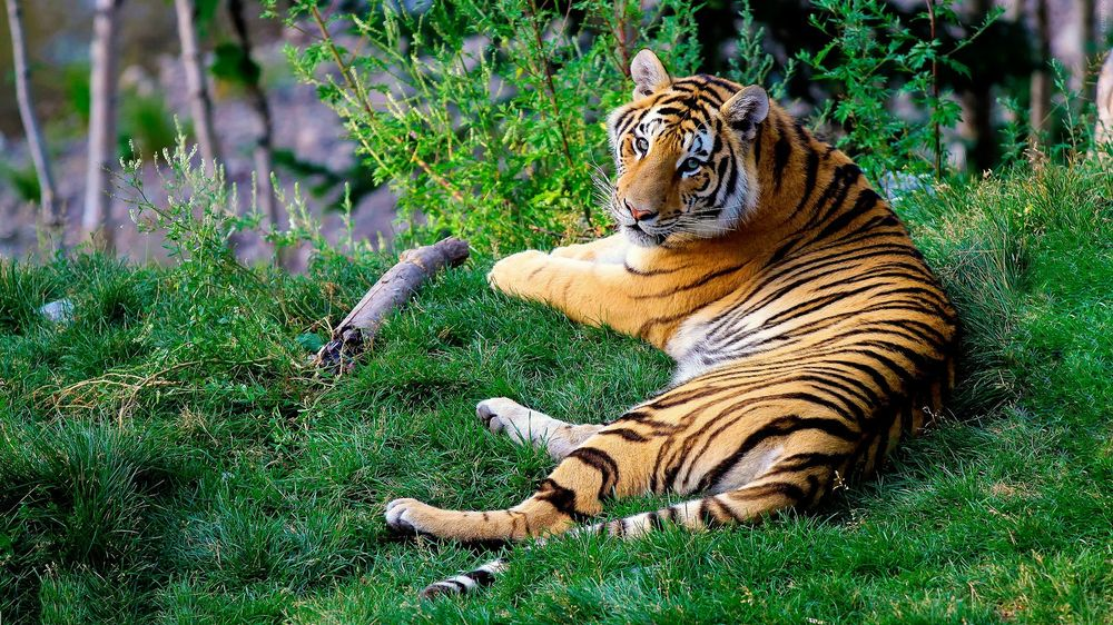 Tiger relaxing in his enclosure