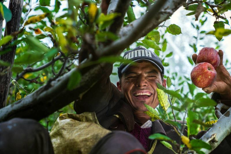 farm worker in tree holding apples | jobs in Canada