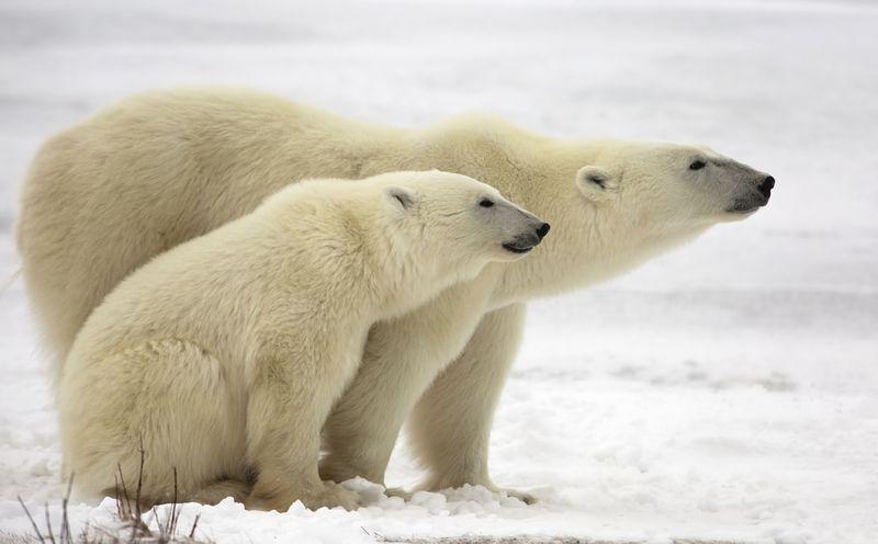 polar bears of Churchill Canada | migrate to Canada