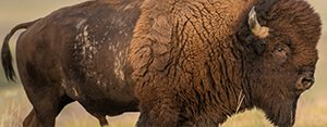 A buffalo moving through tall grass on a dry plain