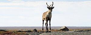 An American Elk in Nunavut, Canada