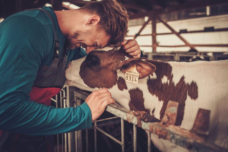 young farm worker with cow on dairy farm | jobs in Canada
